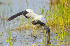 Cigogne en bois, (Mycteria americana) Photo stock