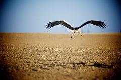 Cigogne en vol au-dessus du champ Photos stock