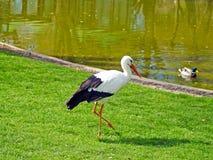 Cigogne et canard sur un zoo photos libres de droits