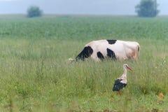 Cigogne et vache dans le pré en été Image libre de droits
