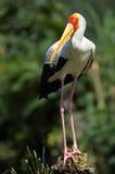 cigogne Jaune-affichée Photos libres de droits