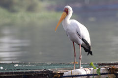 cigogne Jaune-affichée qui se tient sur des pantones pour l'élevage de poissons dessus Photographie stock