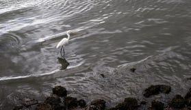 Cigogne marchant près du lit rocheux par la mer Photo stock