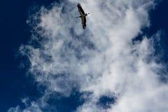 Cigogne montant dans le ciel bleu avec les nuages blancs Image libre de droits