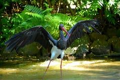 Cigogne noire Images libres de droits