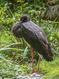 Cigogne noire Images stock