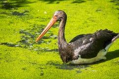Cigogne noire dans un étang Image stock