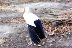 Cigogne, oiseau blanc Photographie stock libre de droits