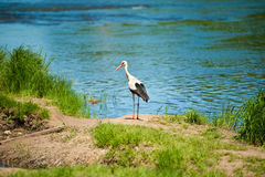 Cigogne par le lac Photos stock