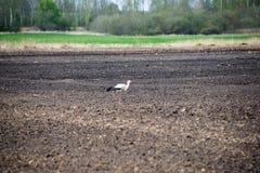 Cigogne sauvage dans le pré Photo stock