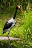 cigogne Selle-affichée Image libre de droits