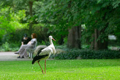 Cigogne sur l'herbe verte Images stock