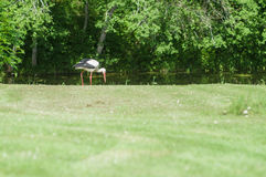 Cigogne sur l'herbe verte Photographie stock libre de droits