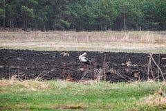Cigogne sur une terre labourée à la recherche de nourriture photos libres de droits