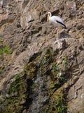 Cigognes à la roche près de la cascade à écriture ligne par ligne Image libre de droits