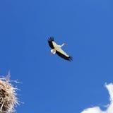 cigognes Photo libre de droits
