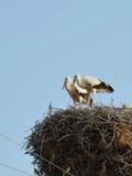 Cigognes blanches dans le nid Photos stock