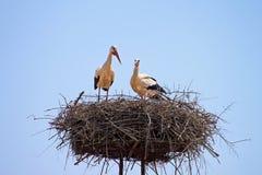 Cigognes blanches dans le nid Photographie stock
