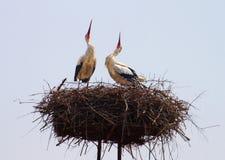 Cigognes blanches dans le nid Photos libres de droits