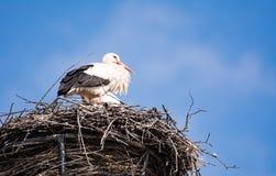 Cigognes blanches dans leur nid Images stock