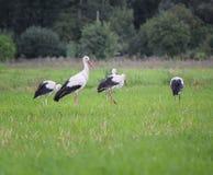 Cigognes blanches de migration, ciconia, dans un pré photo stock