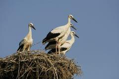 Cigognes - Ciconia Photo stock