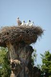 Cigognes dans le nid Photo stock