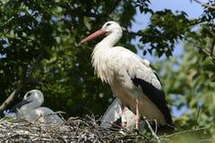 Cigognes dans le nid Photos stock
