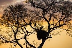 Cigognes dans le nid dans l'arbre sans feuilles au coucher du soleil image libre de droits