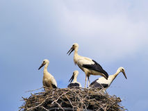 Cigognes dans le nid, Pologne Image stock