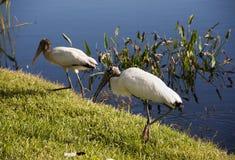 Cigognes de cigogne et d'un bébé sur un lac en Floride Photographie stock