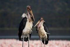 Cigognes de marabout devant des flamants de Nakuru Photos libres de droits