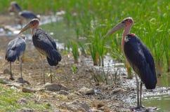 Cigognes de marabout en Ethiopie photos stock