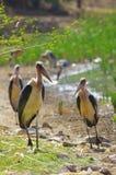 Cigognes de marabout en Ethiopie photographie stock