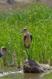 Cigognes de marabout près du lac en Ethiopie photos stock