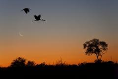 Cigognes de Yellowbilled - delta d'Okavango Photo libre de droits
