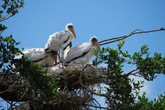 Cigognes en bois mises en danger de chéri Photos libres de droits