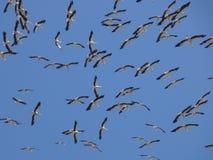 Cigognes entourant dans le ciel images libres de droits