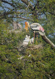 Cigognes peintes (Mycteria Leucocephala) Image libre de droits