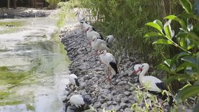 Cigognes près du lac clips vidéos