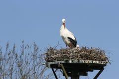 Cigognes sur le nid contre les cieux bleus Photographie stock