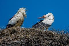 Cigognes sur le nid regardant en arrière Images libres de droits