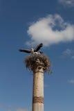 Cigognes sur les ruines Volyubilisa.Marokko. Images stock