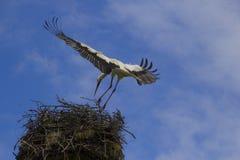 Cigueña en su nido Fotografia Stock