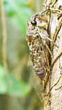 Cikada (beställa hemipteraen, suborderen Auchenorrhyncha). Fotografering för Bildbyråer
