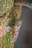 Cikada (Cicadidae) som hänger på ett trädskäll Royaltyfria Bilder