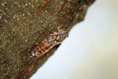 Cikada på ett träd Arkivbild
