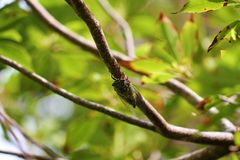Cikada på träd Royaltyfri Fotografi