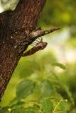 Cikada som klamra sig fast intill trädet Royaltyfri Fotografi