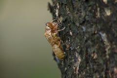 Cikadans hud är på trädet arkivfoto